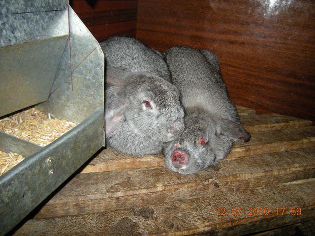 Миксоматоз у кроликов лечение народными средствами в домашних условиях 11