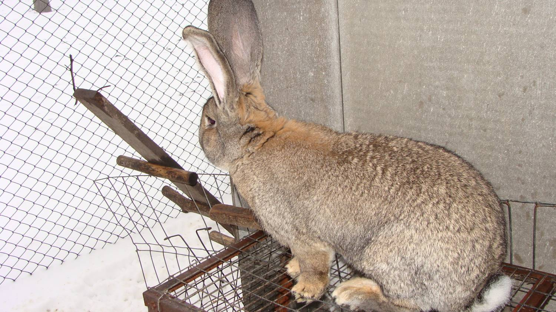 выборе кролики породы фландр кормление пропилена только