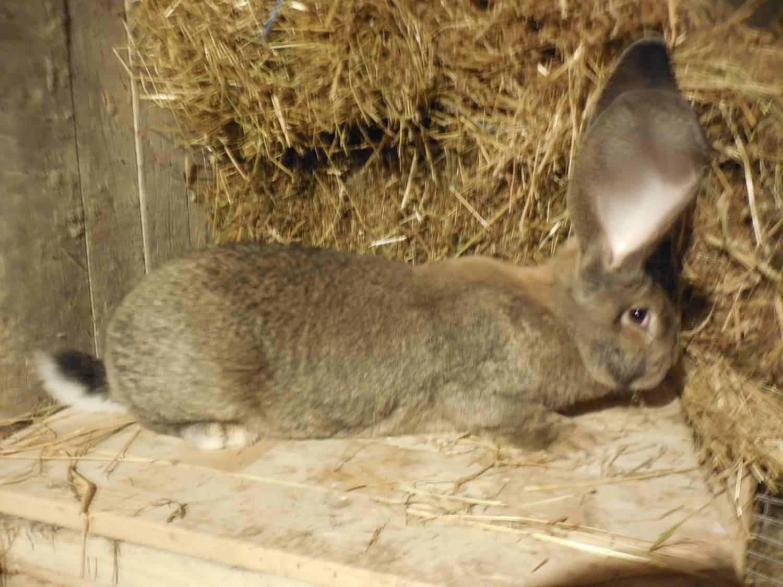 кролики породы фландр кормление синтетическое