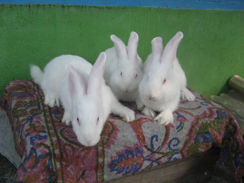 Разведение кроликов в домашних условиях для начинающих 66